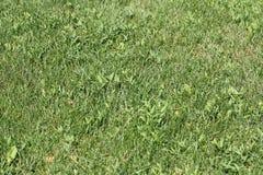 Grüner Weizen auf einer Kornfeld-Grasbeschaffenheit Lizenzfreie Stockfotografie