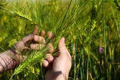 Grüner Weizen in den Händen im Sommer auf dem Gebiet lizenzfreie stockbilder
