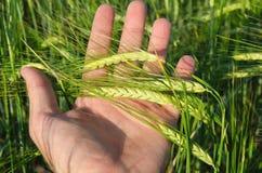 Grüner Weizen in der Hand Lizenzfreie Stockbilder