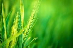 Grüner Weizen-Kopf auf dem bebauten landwirtschaftlichen Gebiet Lizenzfreies Stockbild