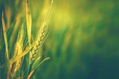 Grüner Weizen-Kopf auf dem bebauten landwirtschaftlichen Gebiet Lizenzfreies Stockfoto