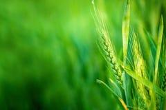 Grüner Weizen-Kopf auf dem bebauten landwirtschaftlichen Gebiet Stockfotos