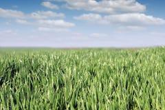 Grüner Weizen mit Tau und blauer Himmel gestalten landschaftlich Stockfotos