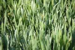 Grüner Weizen mit Tautropfen Stockbilder