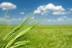 Grüner Weizen. Sommerlandschaft. Stockfotografie