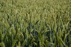 Grüner Weizen u. x28; Triticum& x29; Feld auf blauem Himmel im Sommer Schließen Sie oben von den unausgereiften Weizenähren Lizenzfreies Stockbild