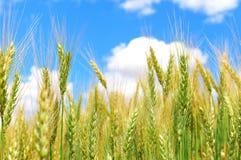 Grüner Weizen und blauer Himmel Stockfotos