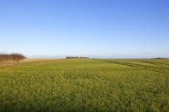 Grüner Weizen und blauer Himmel Stockfotografie