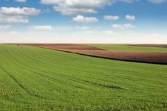 Grüner Weizen und gepflogenes Feld Stockfotografie