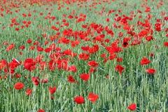 Grüner Weizen und rote Mohnblume Lizenzfreie Stockbilder
