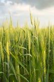 Grüner Weizen unter drastischem Himmel Stockfoto