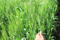 Grüner Weizenbauernhof Indien lizenzfreie stockbilder