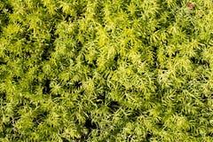 Grüner Zierpflanzehintergrund Lizenzfreies Stockfoto