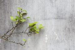 Grüner Zitronenbaum über grauem Zementwandhintergrund Stockbild