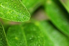 Grüner Zitronenblatt-Wassertropfen Stockfotos