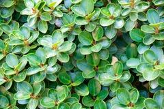 Grüner Zusammenfassungshintergrund des Blattbantambaums (Ficusannulata Blume) Lizenzfreie Stockfotografie