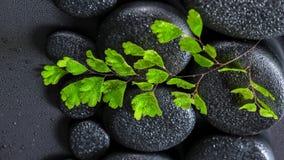 Grüner Zweig Adiantumsfarn auf Zenbasaltsteinen mit Tau, beautifu Lizenzfreie Stockfotos
