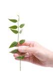 Grüner Zweig in der Hand Stockfotografie