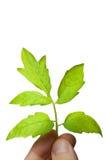 Grüner Zweig in der Hand Lizenzfreies Stockbild