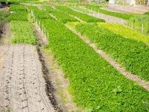 Grünes Ackerland für wachsendes Gemüse Stockfotos