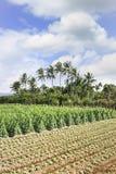 Grünes Ackerland mit tropischen Palmen, Hainan-Insel, China Lizenzfreie Stockfotografie