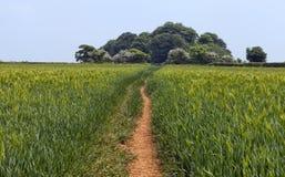 Grünes Ackerland mit wachsendem Roggenkorn in Cotswolds-Landschaft Stockfoto