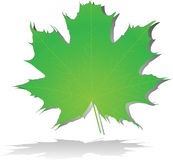 Grünes Ahornblatt Lizenzfreie Stockfotos