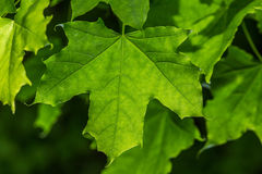 Grünes Ahornblatt Stockfotos