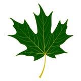 Grünes Ahornblatt stock abbildung