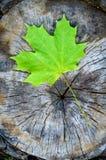 Grünes Ahornblatt im Herbst (Acer-platanoides) Stockbilder