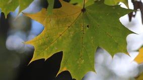 Grünes Ahornblatt mit einer gelben Ecke stock video footage