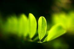 Grünes Ahornholz Lizenzfreie Stockbilder