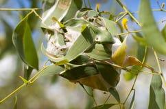 Grünes Ameisen-Nest Stockfoto