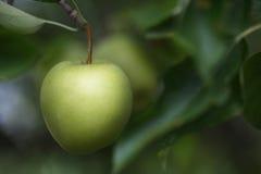 Grünes Apple, das am Baum im Sommer hängt Stockfotos