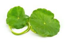 Grünes asiatisches Pennywort auf weißem Hintergrund stockfoto