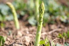 Grünes Asparagas, Spargelernte Lizenzfreie Stockfotografie