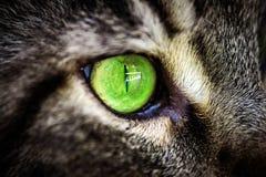 Grünes Auge der Nahaufnahme der Katze der Maine Coon-Schwarzgetigerten katze Lizenzfreie Stockfotografie