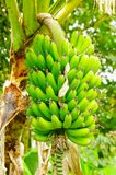 Grünes Bündel Bananenbananen auf dem Baum Bananenbanane ist eine Zartheitsfrucht, die in der lateinamerikanischen Diät allgemein  Stockfotos