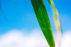 Grünes Bambusblatt auf Himmelhintergrund Hintergrundkonzept Lizenzfreies Stockfoto