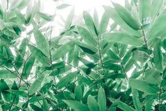Grünes bammboo lässt Beschaffenheit im Sonnenaufgang Lizenzfreie Stockfotos