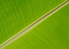 Grünes Banane leafe Lizenzfreie Stockfotografie