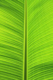 Grünes Bananenblatt. stockfotografie