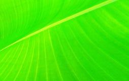 Grünes Bananenblatt Lizenzfreie Stockfotografie