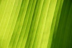 Grünes Bananenblatt stockbilder