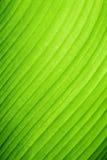 Grünes Bananenblatt Lizenzfreie Stockbilder