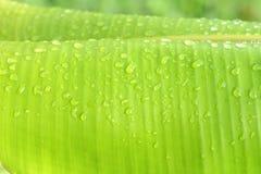 Grünes Bananenblatt des Hintergrundes Lizenzfreies Stockbild
