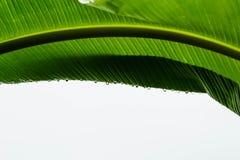 Grünes Bananenblatt im Freien mit Wassertropfen ist neue Natur des Gefühls Stockbilder