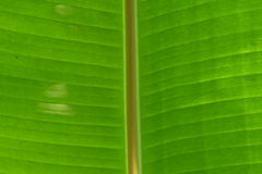 Grünes Bananenblattfront-Beschaffenheitsdetail Lizenzfreie Stockfotos