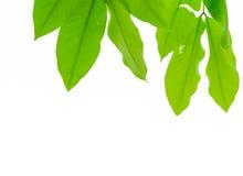 Grünes Baumblatt auf Hintergrund Stockbilder