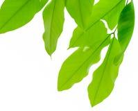 Grünes Baumblatt auf Hintergrund Stockfoto